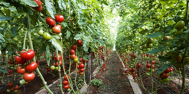 Row of tomato plants