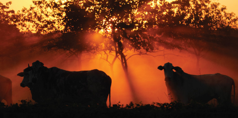 Cattle at sunset in Brazil