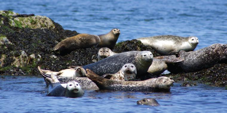 Harbor seals photo
