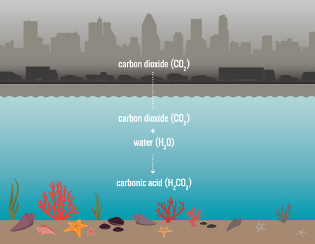 Carbon dioxide given off by vehicles, power plants and other human sources spells trouble for many marine organisms. The gas combines with seawater to form carbonic acid, which reduces availability of the carbonate ions they need to build shells and other structures. Acidification also appears to disrupt physiological processes. Illustration by Sarah Youngquist.