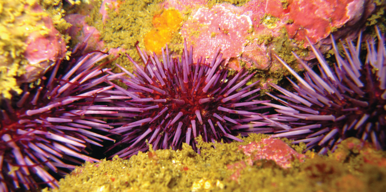 Purple urchin photo