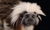 Tamarin photo
