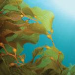 Giant Kelp (Macrocystis pyrifera) underwater