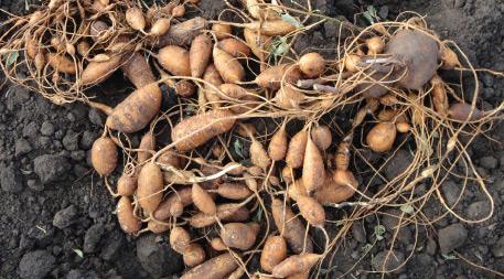 Potato beans in dirt