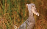 Shoebill in Bangweulu