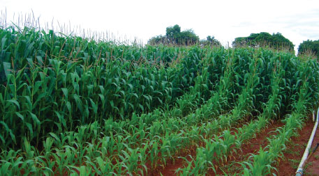 Maize plants growing on unsupplemented versus fertilized soil