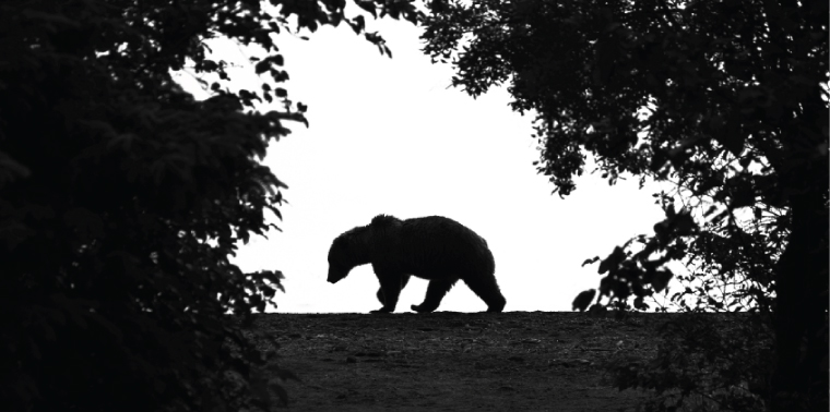 Grizzly silhouette framed by trees