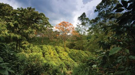 Coffee planatation in Naranjo region, Costa Rica