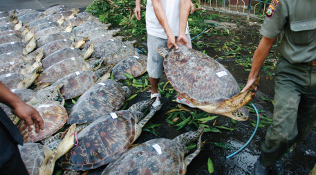 Seventy one illegal green sea turtles seized by Bali Police from local fisherman
