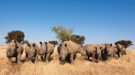 Dehorned white rhinos on rhino farm