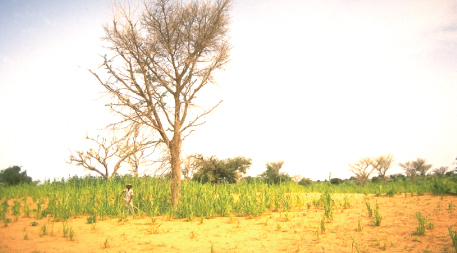 Acacia tree on cropland in Niger