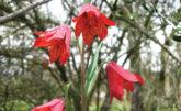 Gentner's fritillary lily