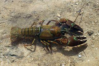 Signal_crayfish