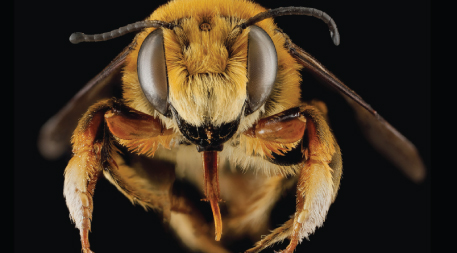 Megachile fortis (Herculean Leafcutter Bee)