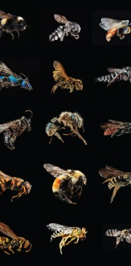 The secret life of native bees