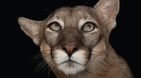 A Florida panther (Puma concolor coryi) at the Lowry Park Zoo. Florida panthers are found in small pockets in southern Florida, in mixed swamps and hammock forests. They are considered critically endangered, with an estimated population of 20–50 animals. Photo by Joel Sartore
