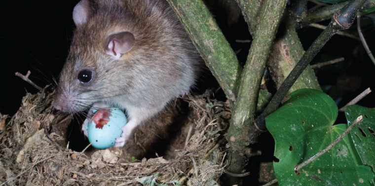 Bush (or black) rat (Rattus rattus) eating an egg at a thrush nest in Horowhenua, NZ