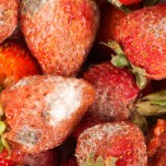 Photo of mouldy strawberries