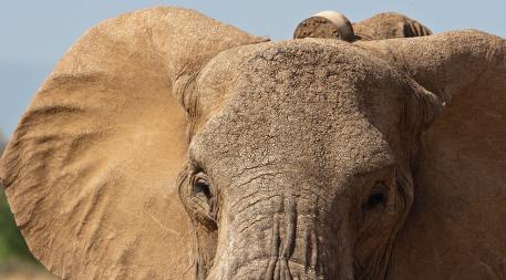 Closeup of collared elephant
