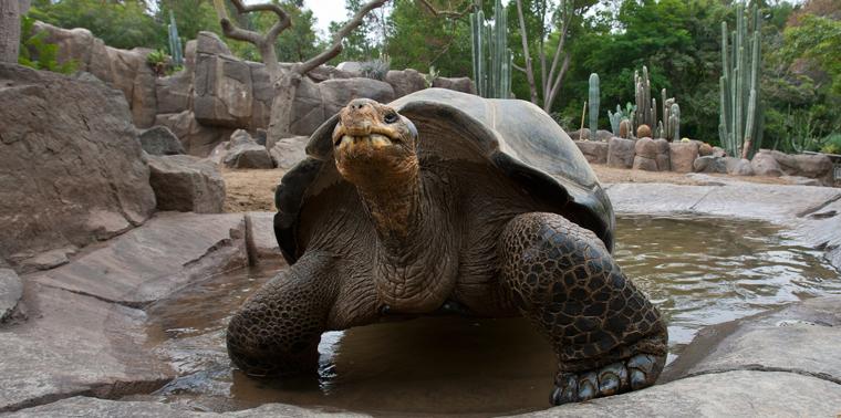 Tortoise at San Diego Zoo