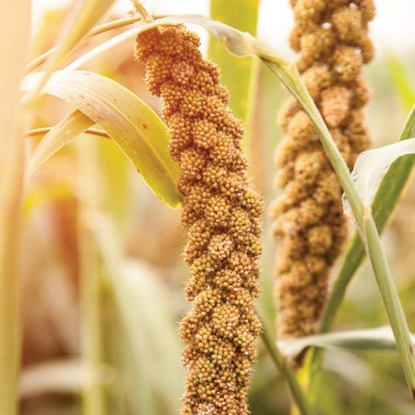 Getting beyond wheat, corn and rice