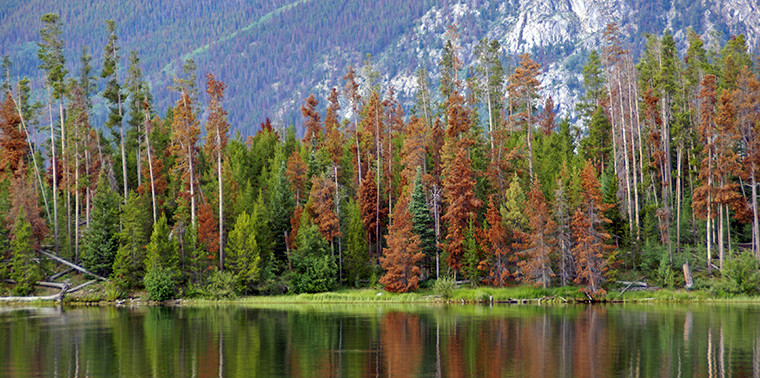Damage done to pine trees by a mountain pine beetle infestation - Dillon Reservoir, Summit County, Colorado