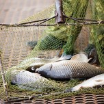 Fish in a commercial fish farming net