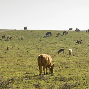 Beef cattle grazing in a field