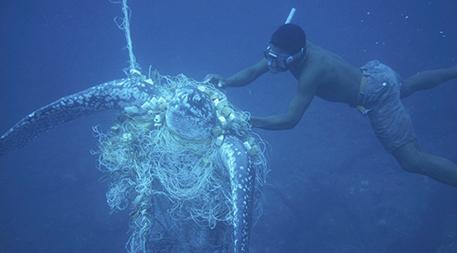 Leatherback turtle caught in net