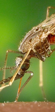 Could evolution be our ally when it comes to mosquito control?