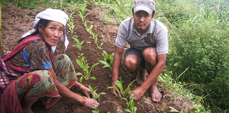 Transplanting chiraito in central Nepal