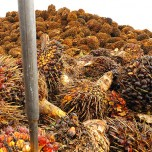 Large pile of palm oil fruit