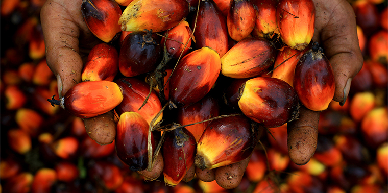 Worker holding palm oil seeds