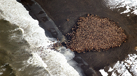 Chukchi sea walrus at Point Lay, Alaska in September 2014