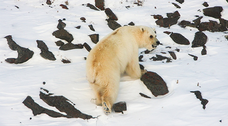 Hybrid polar grizzly bear