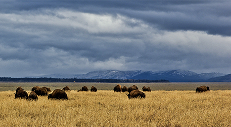 Buffalo in Jackson Hole area, Wyoming