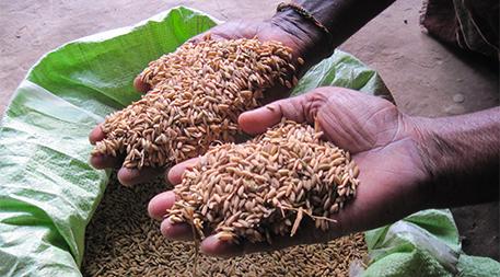 Seeds of salt-tolerant rice variety