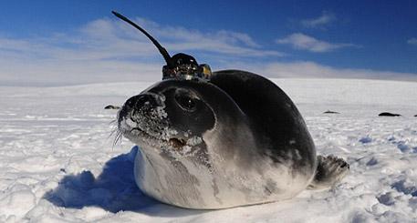 A Weddell seal with a conductivity-temperature-depth tag on its head. Credit: Dan Costa, University of California at Santa Cruz.