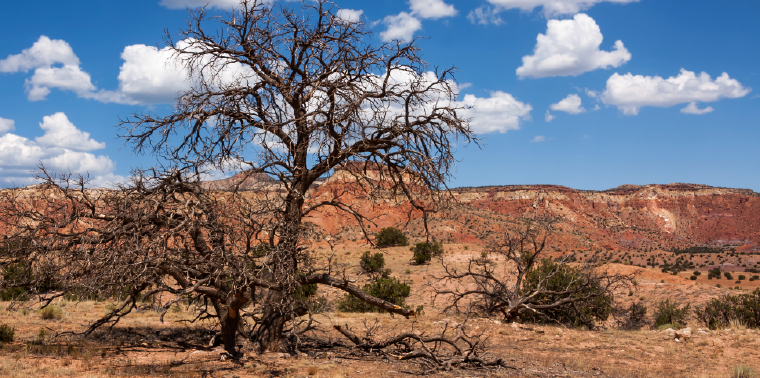 Dead juniper tree in New Mexico near Ghost Ranch