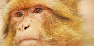 Saving Morocco's endangered Barbary macaques