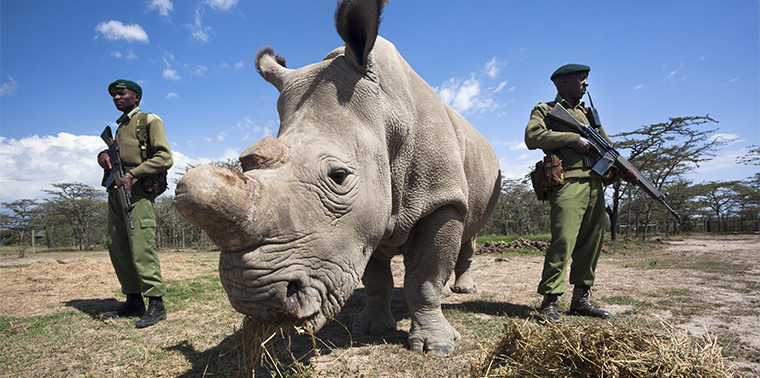Rare white rhinos get own armed guards, Ol Pejeta Conservancy in Kenya, Africa