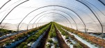 Crop growth through plastic liners in a polytunnel