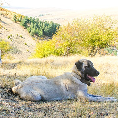 Searching for the best dog to save livestock —and wildlife
