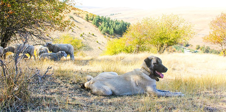 Kangal with herd of sheep