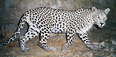 Protecting the endangered Arabian leopard in the mountains of Oman