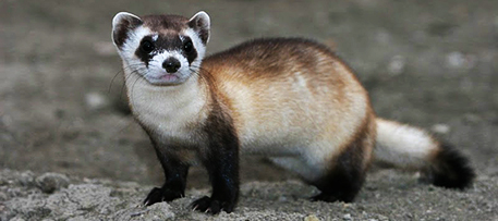An organization known as Revive and Restore is proposing to use genetic material from museum specimens to boost genetic diversity in black-footed ferrets as they move back from the brink of extinction. Photo by J. Michael Lockhart / USFWS (Flickr/Creative Commons)
