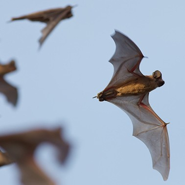 Can bats reduce nut farmers' pesticide use?