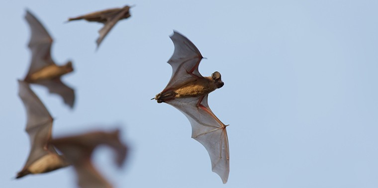 Mexican free-tailed bats in flight
