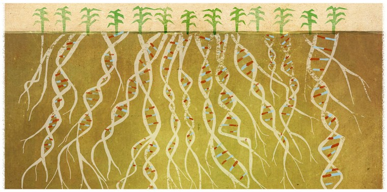 Corn crop with dna roots