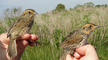 A Nelson's sparrow and a saltmarsh sparrow at Barn Island